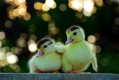 Funny Animal Pictures - View our collection of cute and funny pet videos and pics. New funny animal pictures and videos submitted daily. Duck Wallpaper, Cute Ducklings, Baby Ducks, Cute Animal Pictures, Animal Pics, Cute Baby Animals, Funny Cute, Beautiful Birds, Beautiful Pictures