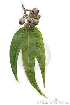 Gum Leaves and Gum Nuts by Robyn Mackenzie, via Dreamstime Botanical Drawings, Botanical Art, Botanical Illustration, Australian Icons, Australian Flowers, Kangaroo Paw, Art Worksheets, Leaf Drawing, Leaf Template