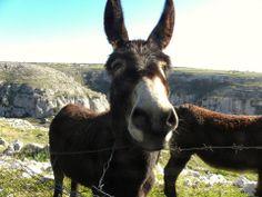 Cathartic donkeys-Pulsano Gargano Southern Italy!
