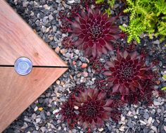 A mixture of dwarf euphorbia, pulsatilla, sempervivum and seven species of sedum planted in undulating beds covered with a dark granite shingle. Sedum Plant, Dark Granite, Dwarf, Bed Covers, How To Dry Basil, Beds, Gardens, Plants, Bed Quilts