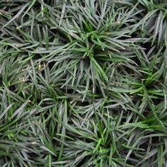 Mini/Dwarf Mondo Grass carpet