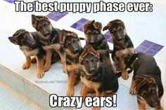 """The best puppy phase ever: Crazy ears!"" ~ Dog Shaming shame - German Shepherd puppies"