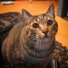 怖いくらいのガン見でご飯欲求して来るケン😹✨あんまり焦らすと鳴き声が怒ってくるし🙀笑 ・ ・ ・ ・#猫#ネコ#ねこ#三毛猫#キジトラ#茶トラ#ねこ部#愛猫#デブ猫#美猫#イケ猫#イケニャン#ペコねこ部#にゃんすたぐらむ#ニャンスタグラム#catstagram#cat#chat#katze#katt#kat#gatto#gato#pusa#고양