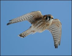 American Kestrel (Falco sparverius) - Bird of the Year in 2011 in USA