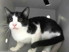 Killed at ACC!! Just a baby! :( TO BE DESTROYED 10/29/14 ** ADORABLE 4 MONTH OLD!! Jamir was displaying behaviors that preclude placement in the adoptions room. Please foster, pledge or adopt to save him now!! * Brooklyn Center  My name is JAMIR. My Animal ID # is A1018479. I am a male black and white domestic sh mix. The shelter thinks I am about 4 MONTHS old.  I came in the shelter as a STRAY on 10/23/2014 from NY 11207. Group/Litter #K14-199465.