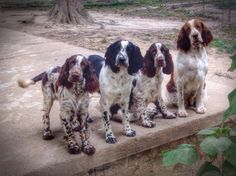 This is happiness. Surrounded by springers is on my bucket list of life