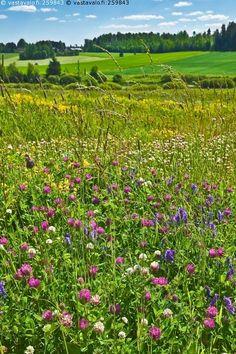 Kesäniitty - niitty kukkaniitty kesäniitty kukkapelto maalaismaisema maaseutu apilapelto apila kesäpäivä aurinkoinen apilaa kukka kukkia kukat kesämaisema