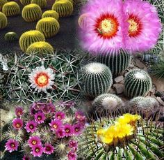 CACTUS: Cactus, the common name for a family of desert plants. The plural is cacti or cactuses. Most species bear sharp, needlelike spines, which protect the plants from foraging desert animals. Cacti                                                                                                                                                                                 More Golden Barrel Cactus, Desert Animals, Water Wise, Buy Plants, Common Names, Greenhouse Gardening, Desert Plants, Cactus Cactus, Cacti