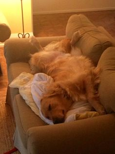Total relaxation #golden #goldenretriever #dog