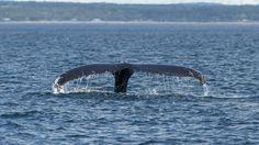 Rorqual à bosse, Bergeronnes Whale, Animals, Bump, Photography, Animales, Animaux, Animal, Whales, Animais