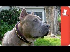 Willa the Pit Bull Annihilates All Stereotypes — She Loves Everyone!   The Animal Rescue Site Blog http://blog.theanimalrescuesite.com/willadotd/?utm_source=social&utm_medium=arsfan&utm_campaign=willadotd&utm_term=20140916