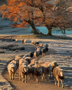 One Frosty Morning in Autumn, Sheep wending their Way along a Path in the Lake District National Park ....