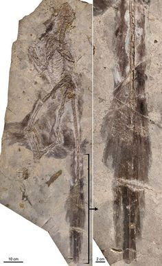 "Discovery of the Day: Fossil of a Four-Winged Dinosaur Unearthed. Discovery of the feathered dinosaur, dubbed Changyuraptor yangi (""great feather"" in Chinese), adds to the roster of feathered raptor dinosaurs with hind wings found in northeastern China in the past two decades. It is the biggest one found so far, and the fifth such species."
