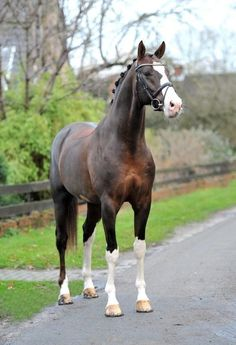 """ Callaho's Benicio (Belissimo M / Velten Third / Wanderkoen… "" Callaho's Benicio (Belissimo M / Velten Third / Wanderkoenig) 2005 Liver Chestnut Hanoverian Stallion Callaho Stud "" - Art Of Equitation Beautiful Horse Pictures, Beautiful Horses, Animals Beautiful, Cute Horses, Horse Love, Warmblood Horses, Dutch Warmblood, Thoroughbred, Chestnut Horse"