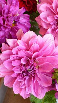 Bright Pink Dahlias Feed with GrowBest from http://www.shop.embiotechsolutions.co.uk/GrowBest-EM-Seaweed-Fertilizer-Rock-Dust-Worm-Casts-3kg-GrowBest3Kg.htm