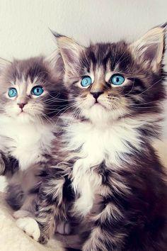Blue eyes kitties