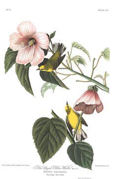 Blue-winged Yellow Warbler   John James Audubon's Birds of America
