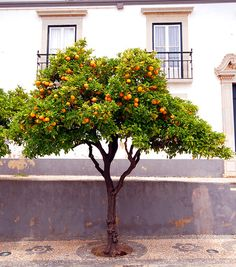 Tree I want an orange tree when I create my garden, so I can make fresh orange juice, yum!I want an orange tree when I create my garden, so I can make fresh orange juice, yum!
