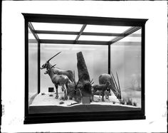 "An 1898 ""Beisa Antelope Oryx diorama"" by taxidermist Carl Akeley, from the collection of the Field Museum."