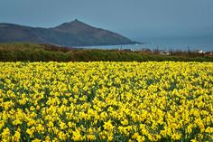 The daffodils are in full glory right now, and are making Connemara on the shores of the Atlantic ocean look even more impressive than usual....