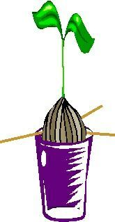 Grow An Avocado Tree!