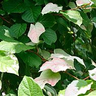 Variegated kiwi vine is an attractive woody vine that tolerates shade. The male has lovely pink, white, and green variegated leaves and small flowers that are fragrant and cream-covered. This species needs both a male and female plant to produce its sweet, grape-sized fruit. The fruits have no fuzz, and the skin is soft and tender. Best fruit production is achieved in full sun.