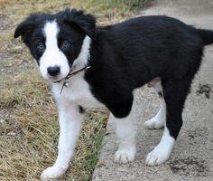 border collie puppy :)