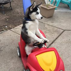 """29 Likes, 2 Comments - Husky Purfect (@husky.purfect) on Instagram: """"They see me rollin They hatin Patrolling they tryin to catch me ridin' dirty Tryin to catch me…"""""""