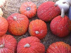 Heirloom pumpkin variety: Red Warty Things
