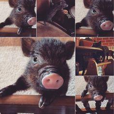 #minipig #micropig #piggy #pig