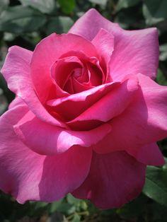 Georges Cassagne ~ Grandiflora Rose