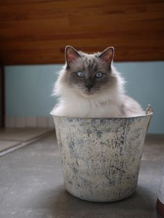 cat in bucket
