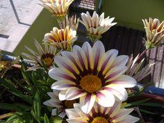 Fiore striato bianco e giallo
