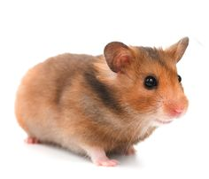 All about the Syrian hamster (a.a golden / teddy bear hamster), how to take care of them, plus lots of photos, tips and tricks. Hamsters, Hamster Breeds, Bear Hamster, Hamster Life, Hamster House, Small Hamster, Russian Hamster, Chinese Hamster, Syrian Hamster