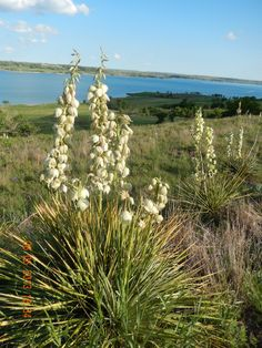 The Yucca's along the byway put on a beautiful show for about 2 weeks in June.