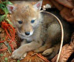 baby coyotes picture - 495×419