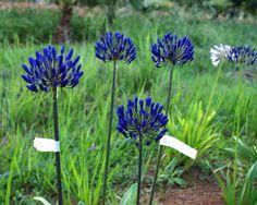 Agapanthus Blue berry Agapanthus Blue, Blue Berry, Berries, Garden, Plants, Garten, Lawn And Garden, Bury, Gardens