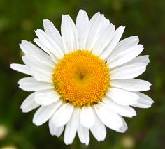 Daisy, simple and one of my favorites!