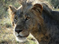 The male #lion in #Saadani National Park after snacking a buffalo in the mud - hence his extremely dirty face