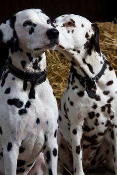 love me some dalmatians :D