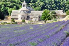 Late June through July is the best season for lavender in Provence. This field is in front of the Senanque Abbey near Gordes, the last week of June