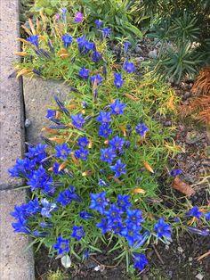 Jeg elsker kinasøte for deres intense blåfarge og fordi de blomstrerer når alt annet har gitt seg for sesongen Plants, Lattices, Flora, Plant, Planting