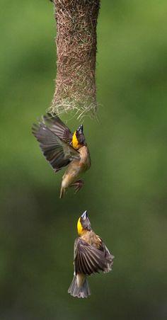 Weaver birds building a nest. (Christi)