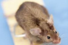 As far as possible, this post will concentrate on pest control tips that would assist keep away as much pests as you can. Some of the advises provided here will deal on specific pests but some may … Peppermint Oil For Mice, Peppermint Water, Rat Repellent, Killing Rats, Getting Rid Of Rats, Plaster Of Paris, Garden Guide, Garden Ideas, Rodents