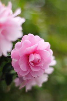 Beautiful Roses, Pretty In Pink, Beautiful Flowers, Gardenias, Flora Flowers, Pink Flowers, Flower Pictures, Garden Plants, Flower Power