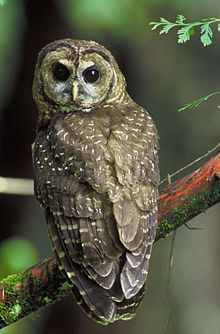 Northern Spotted Owl - endangered - have not seen one of these yet
