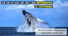 and in Osa We will try to capture some of these magestic animals during our Dolphins, Costa Rica, National Parks, October 1, Tours, Whales, 10 Years, Southern, Animals