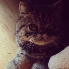 Cute as a button. Cat Named Pants. Exotic shorthair