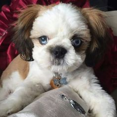 A Kind Shih Tzu Dog And Resort In The South Pacific Background
