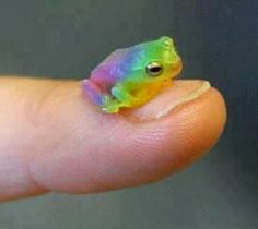 Rainbow Frog by ~satsuki-hana on deviantART, created using Paint Tool Sai. In other words there is no such thing as a rainbow frog. Cute Baby Animals, Animals And Pets, Funny Animals, Les Reptiles, Reptiles And Amphibians, Mammals, Beautiful Creatures, Animals Beautiful, Cute Frogs